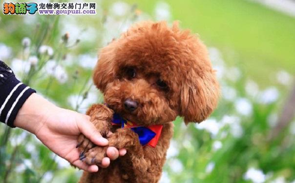 新手购买泰迪犬的注意事项