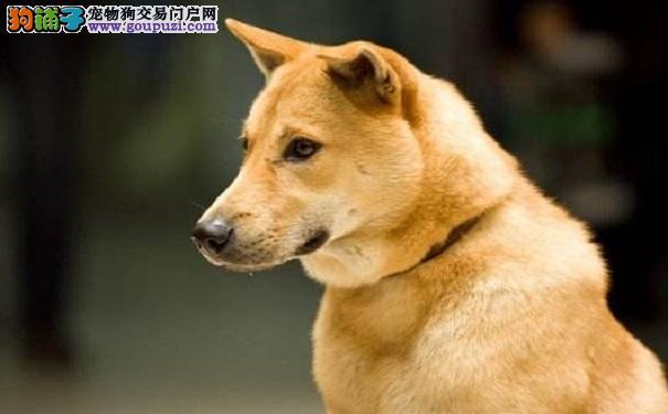 秋田犬和柴犬之间的区别是什么