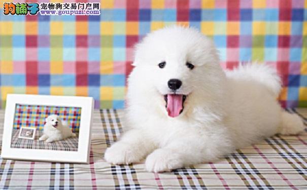 如何购买到真正的萨摩耶犬