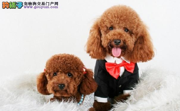 新手购买泰迪犬应该注意什么?
