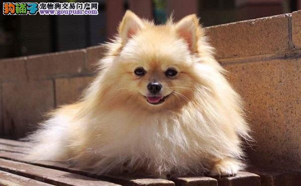 如何选购一只纯正健康的博美犬呢?