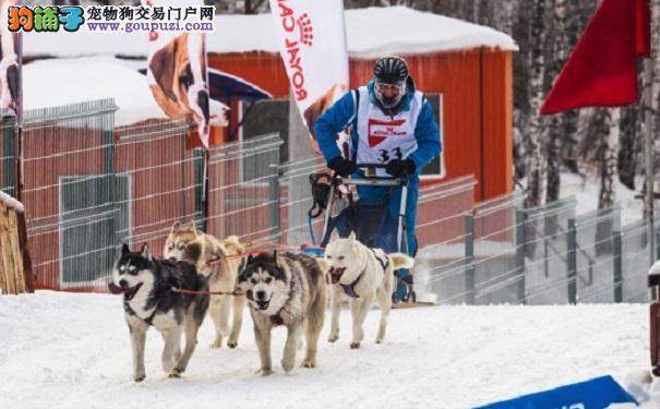 俄举行狗拉雪橇比赛迎狗年 参赛狗狗既矫健又蠢萌