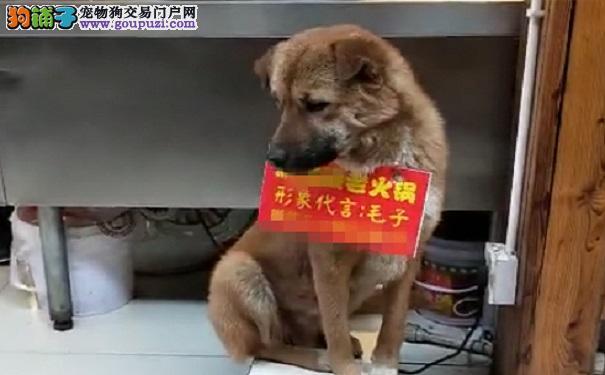 """狗狗端坐凳子迎客 这个""""活招牌""""有意思"""
