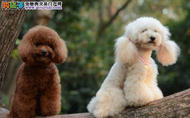 知道泰迪狗紧张的原因 更好缓解泰迪紧张情绪