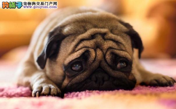 巴哥犬的耳垢如何清理?