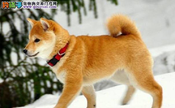 什么原因会导致秋田犬食欲不振呢