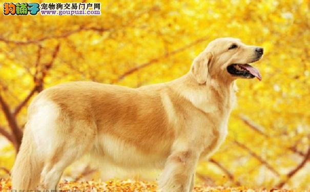 训练金毛犬的十个良方
