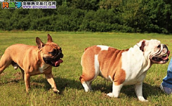 法国斗牛犬常见疾病有哪些?