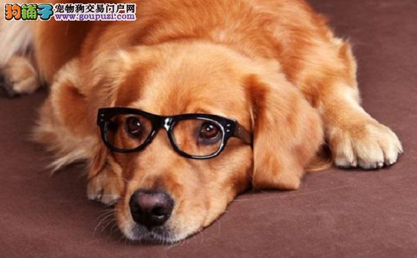 金毛犬常见疾病以及预防方法