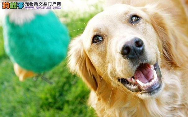 金毛寻回犬训练的办法有哪些