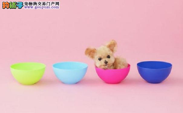 如何正确饲养茶杯犬宝宝