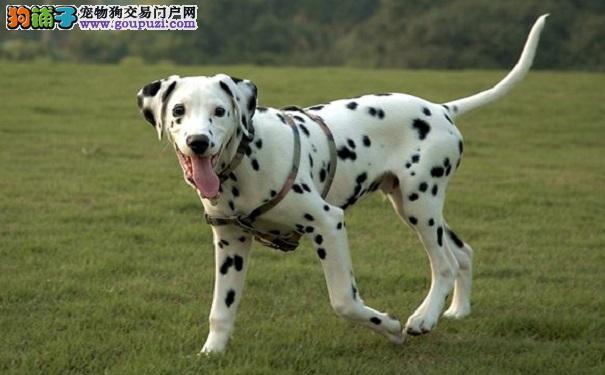 科学养狗——喂养斑点狗的一些注意事项
