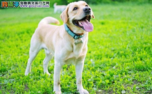 拉布拉多幼犬如何喂食?注意事项有哪些?