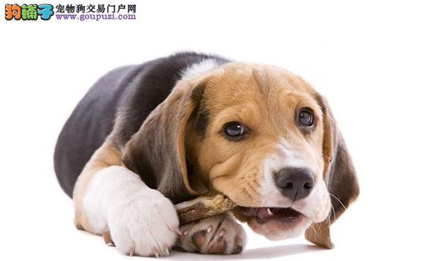 喂养宠物狗的小技巧和注意事项