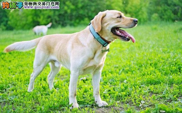 世界上最无私的犬——拉布拉多犬饲养常识