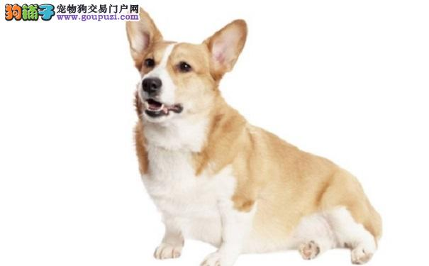 柯基犬常见疾病有哪些?