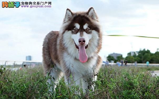阿拉斯加雪橇犬如何饲养