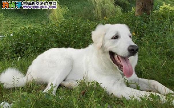 美丽的大白熊犬养殖知识