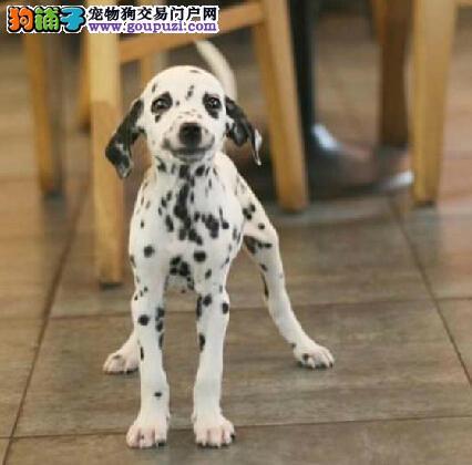 大麦町斑点犬出售 签协议 保健康 保纯种2