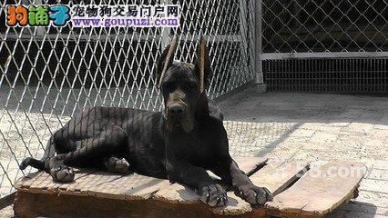 双血统赛级大丹幼犬。体型完美高大的大丹幼犬出售1