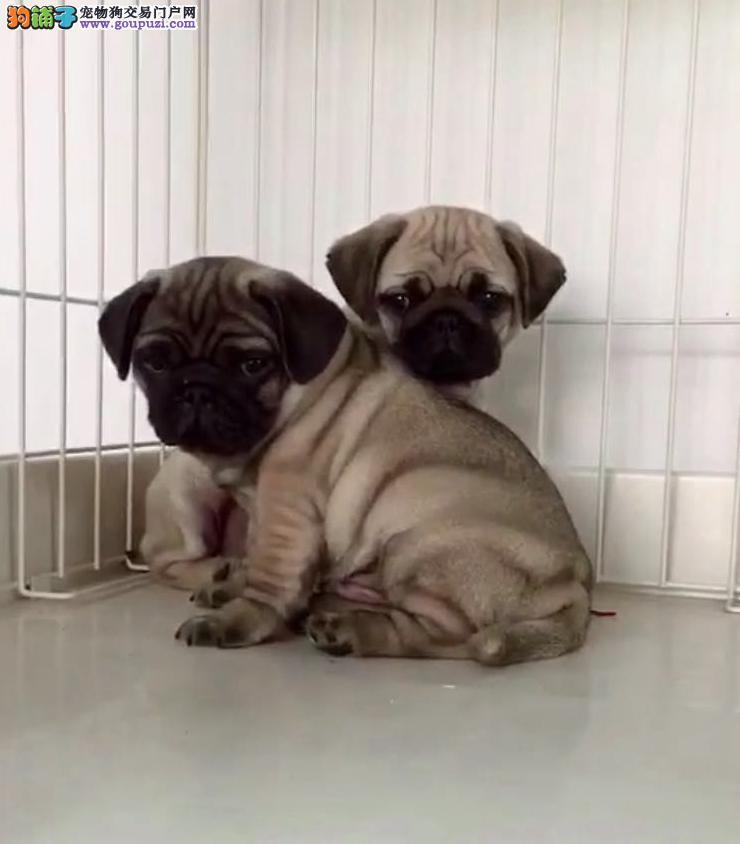 基地繁殖纯种健康性格开朗又好玩的巴哥幼犬4