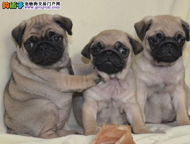 基地繁殖纯种健康性格开朗又好玩的巴哥幼犬3