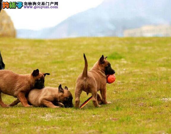 精品纯种马犬出售保健康,双血统品相好看的马犬1