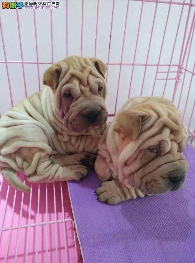 出售高品质沙皮狗幼犬 血统纯正 体型完美 可签协议书2