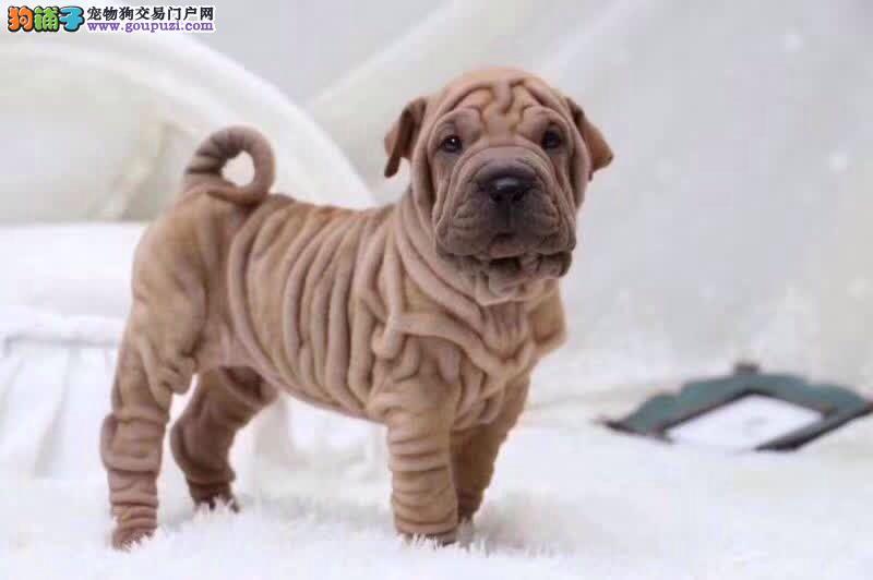 出售高品质沙皮狗幼犬 血统纯正 体型完美 可签协议书1
