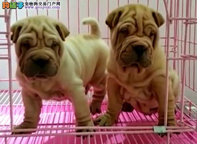 出售高品质沙皮狗幼犬 血统纯正 体型完美 可签协议书4