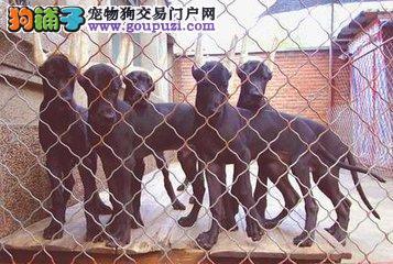 双血统赛级大丹幼犬。体型完美高大的大丹幼犬出售2