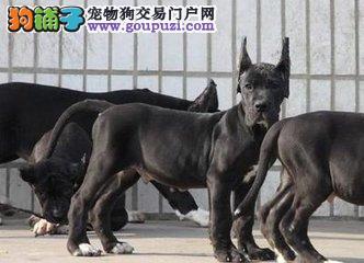 双血统赛级大丹幼犬。体型完美高大的大丹幼犬出售4