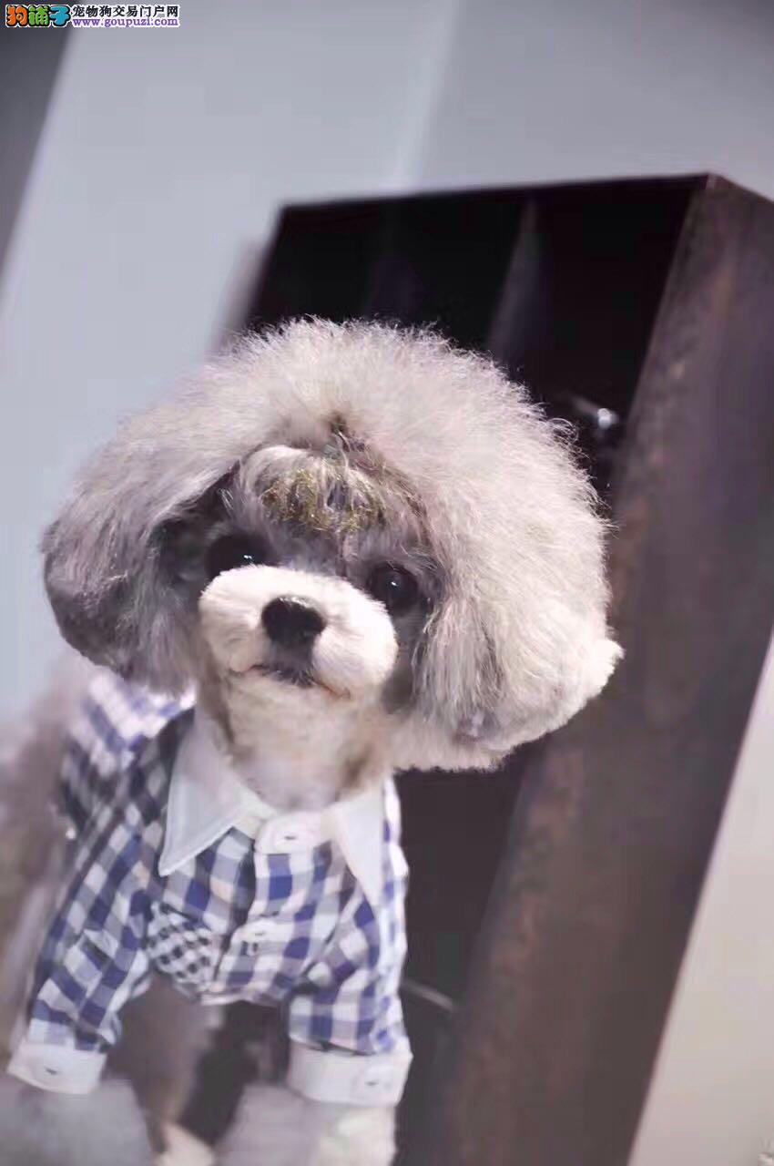 韩系小泰迪  颜色齐全 健康有保障