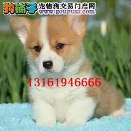 高品质双色 三色柯基幼犬 可见父母