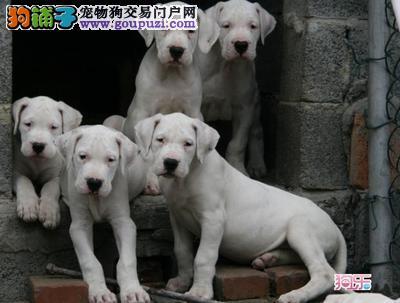 两个月的杜高犬多少钱一条