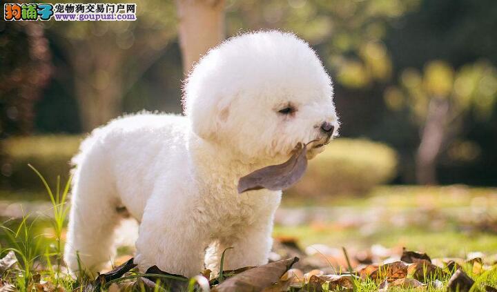 怎样选纯种的卷毛比熊犬呢?