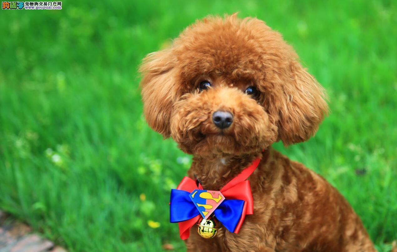 如何挑选刚出生的泰迪犬?