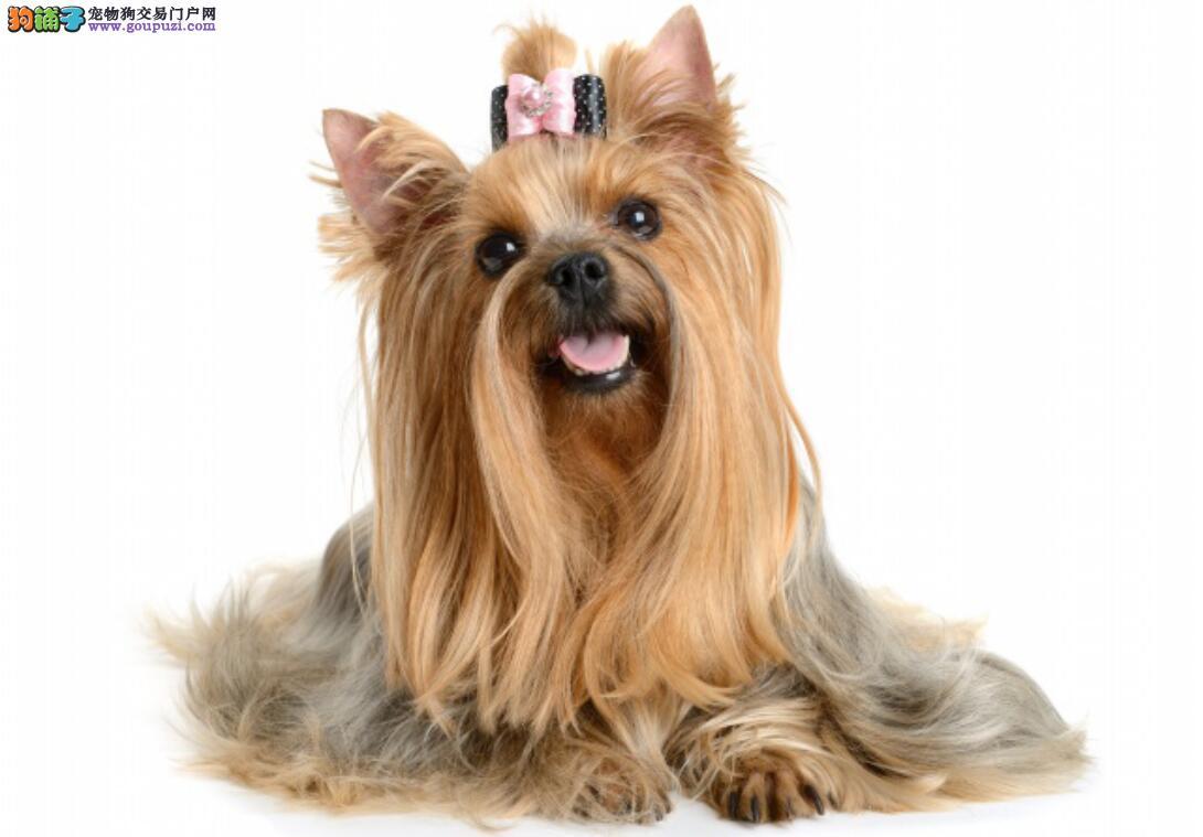 狗狗界的西施,西施犬怎么挑选