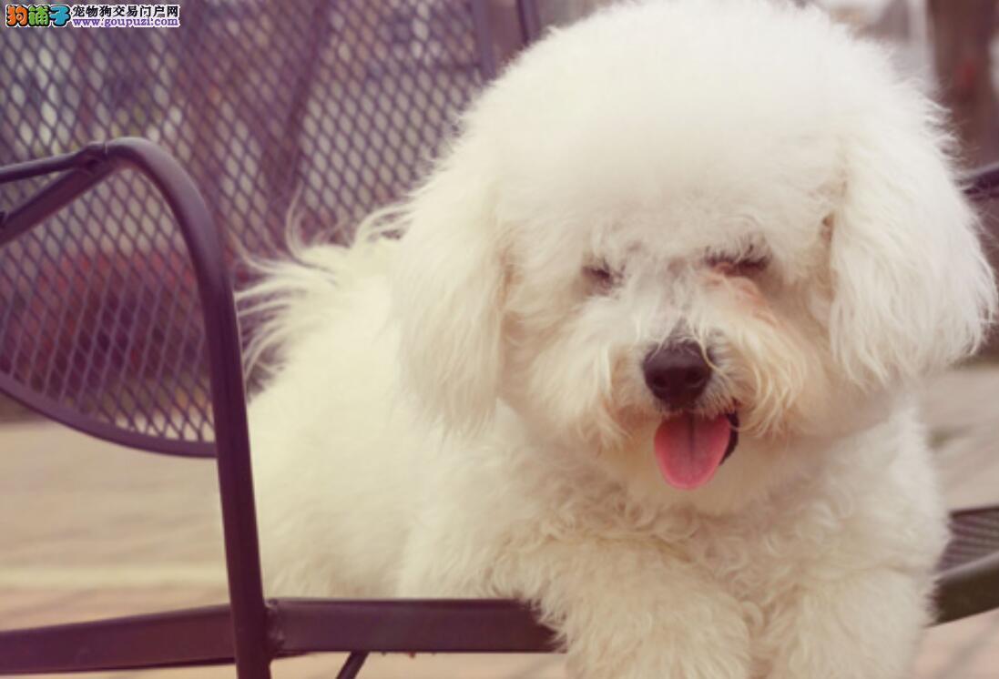 蔡依林的比熊犬这么漂亮,你也能选到