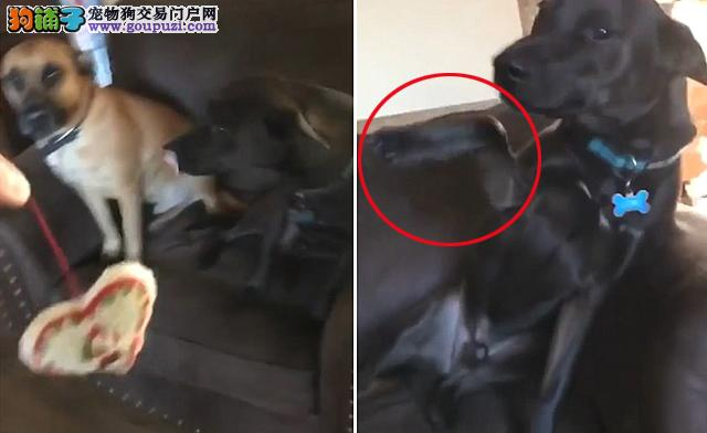 狗狗被主人指责偷吃东西后诬陷好友