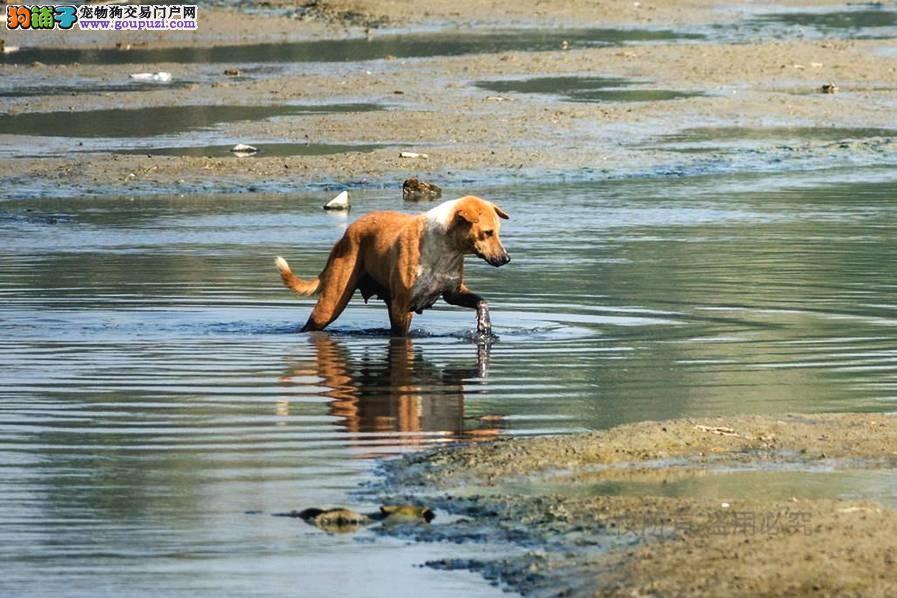 狗狗逮鱼吃,大半个狗头没入水中30秒钟不换气