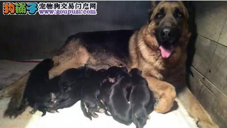 大型犬的饲养方式