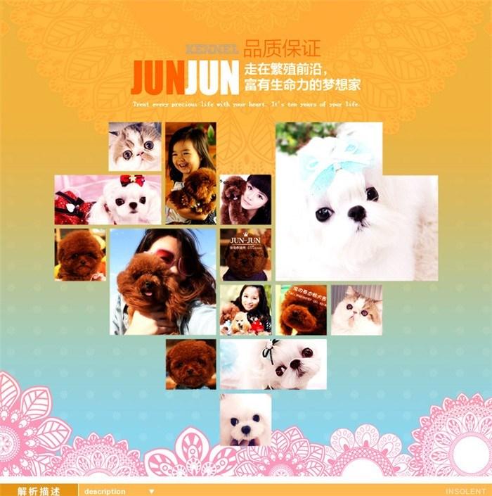 出售韩版超小体德州泰迪犬不掉毛乖巧懂事