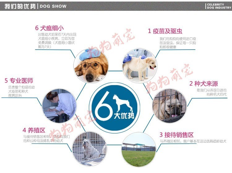 出售韩版超小体德州泰迪犬不掉毛乖巧懂事9