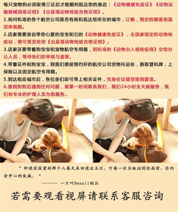 出售韩版超小体德州泰迪犬不掉毛乖巧懂事16