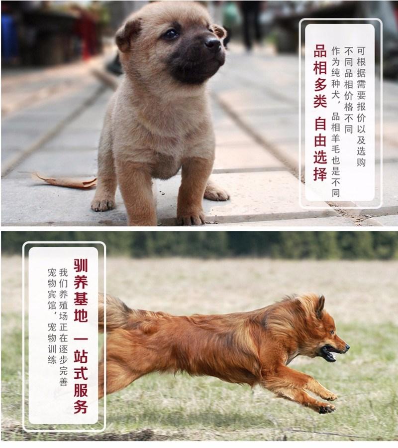 合肥售纯种金毛黄金猎犬 金毛寻回犬幼犬欢迎选购