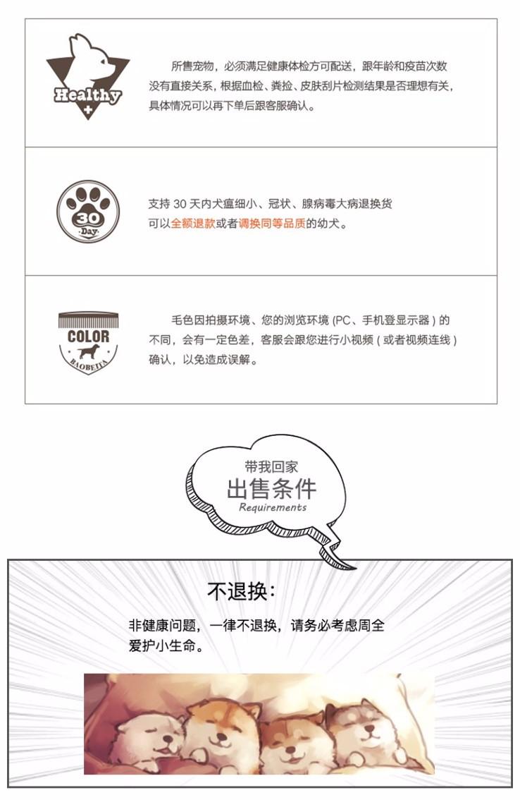 北京大兴区自家繁育柴犬幼犬 三个月柴犬宝宝优惠出售