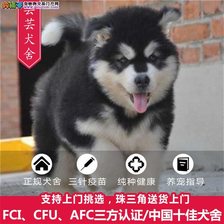出售顶级阿拉斯加幼犬 纯种健康有保障可上门可送到家