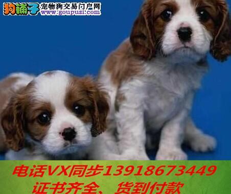 可卡犬繁殖,血统纯正带证书签协议包养活