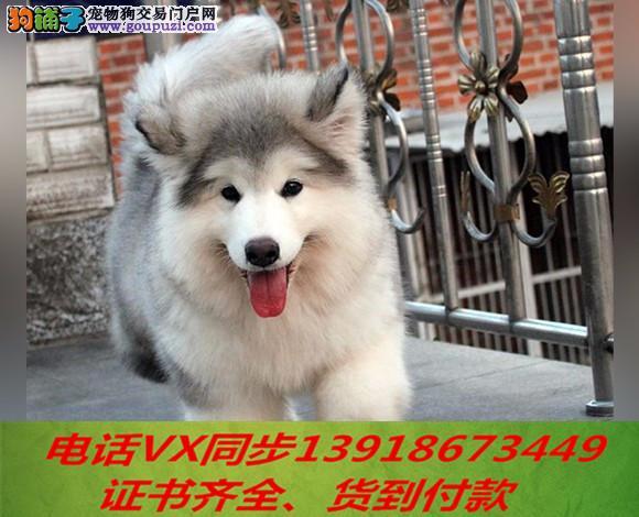 专业阿拉斯加犬繁殖,血统纯正带证书签协议包养活